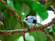 Java Sparrow at zoo. In Vienna, Austria Royalty Free Stock Photography