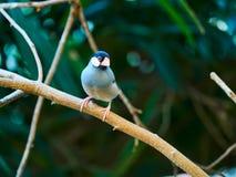 Java Sparrow at zoo. In Vienna, Austria Stock Photos