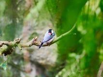 Java Sparrow at zoo. In Vienna, Austria Royalty Free Stock Photo