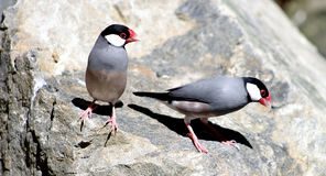 Java Sparrows Arkivfoton