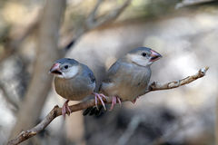 Java Sparrows Royalty Free Stock Photography