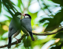 Java sparrows mating ritual. A couple of Java sparrow birds in mating ritual Stock Images