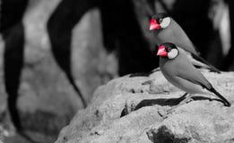 Java Sparrows (oryzivora del Padda) Fotografía de archivo libre de regalías