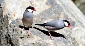 Java Sparrows. (Padda oryzivora Stock Photos