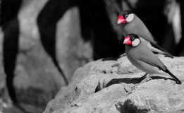 Java Sparrows (Padda oryzivora). A pair of Java sparrows also known as Java Finches Royalty Free Stock Photography