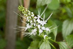 Java tea, Kidney Tea Plant, Cat's Whiskers (Orthosiphon aristatus (Blume) Miq.). Stock Photo