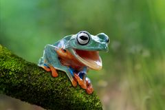 Java tree frog open mouth. Javanese frog is in the tangkay while opening the mouth Stock Image