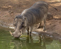 Javali africano Fotografia de Stock Royalty Free
