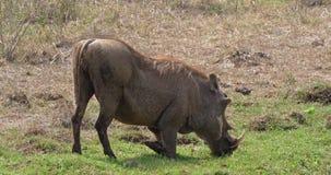 Javali africano, aethiopicus do phacochoerus, adultos que comem a grama, parque de Nairobi em Kenya, video estoque