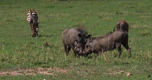 Javali africano, aethiopicus do phacochoerus, adultos que lutam, parque de Nairobi em Kenya, video estoque