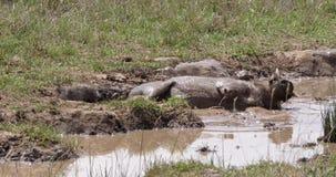 Javali africano, aethiopicus do phacochoerus, par que tem o banho de lama, parque de Nairobi em Kenya, video estoque