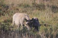 Javali africano com filhote novo Imagens de Stock