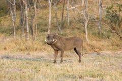 Javali africano comum, (africanus do Phacochoerus), Foto de Stock