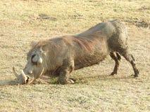 Javali africano comum que ajoelha-se para baixo Fotos de Stock