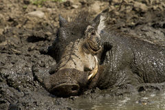 Javali africano que toma um mudbath - Kruger parque nacional Foto de Stock