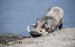 Javali africano & x28 comuns selvagens; Africanu& x29 do Phacochoerus; em um furo de água Foto de Stock Royalty Free