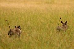 Javali africano, Zimbabwe, parque nacional de Hwange Fotografia de Stock