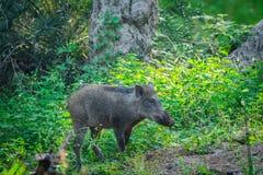 Javali que vagueia em um fundo verde bonito em uma estação das chuvas no parque nacional de Ranthambore, Índia fotografia de stock