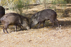 Javalina wild pigs. Wild javelina hogs foraging for food in the desert of Arizona Royalty Free Stock Photo