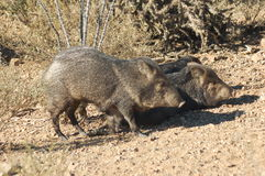 Javalinas Royalty Free Stock Photos