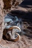 Javalis africanos do sono no Bioparc em Valencia Spain o 26 de fevereiro de 2019 fotos de stock