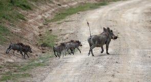 Javalis africanos que cruzam um Masai mara da estrada n imagem de stock