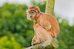 Javan叶猴 库存图片