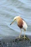 javan damm för heron royaltyfri fotografi