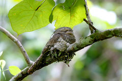 Javan Frogmouth Blyth's Frogmouth Batrachostomus affinis Royalty Free Stock Image