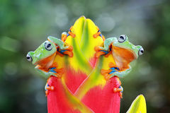 Javan gliding tree frog. Two tree frog on branch Royalty Free Stock Images