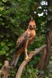 Javan hawk eagle standing at tree branch. Javan hawk eagle are endemic at island of java, indonesia royalty free stock image