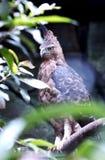 The Javan hawk-eagle Stock Photos