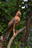 Javan hawk eagle standing at tree branch. Javan hawk eagle are endemic at island of java, indonesia stock image