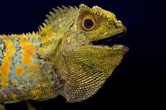 Javan Humphead jaszczurka (Gonocephalus chamaeleontinus) Obrazy Stock