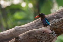 Javan kingfisher bird. The Javan kingfisher Halcyon cyanoventris is a species of bird in the Indonesia. Its natural habitat is subtropical or tropical mangrove royalty free stock images