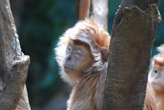 Javan-Langur-Affe mit seinem mustert geschlossenes Lizenzfreies Stockfoto