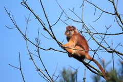 Javan langur Royalty Free Stock Photography