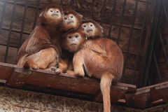 Javan langurs. The quarter of javan langurs sitting on the wooden desk Royalty Free Stock Photos
