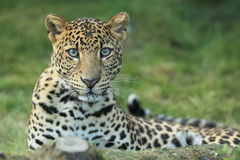 Javan leopard Royalty Free Stock Images