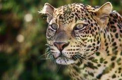 Javan leopard Royalty Free Stock Photo