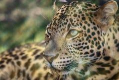 Javan leopard Stock Photos