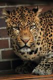 Javan leopard Royalty Free Stock Photo