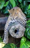 Javan leopard. Leopard is one type of mysterious felid, very beautiful Royalty Free Stock Photography