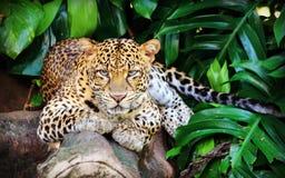 Javan leopard. Leopard is one type of mysterious felid, very beautiful Stock Photo