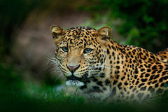 Javan leopard, Panthera pardus melas, portrait of cat Stock Photography