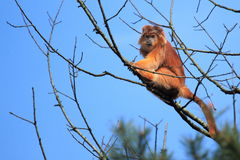 Javan lutung Royalty Free Stock Images