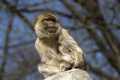 The Javan lutung Royalty Free Stock Images