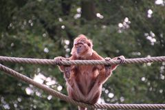 Javan Lutung on a rope stock photos