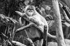 Javan lutung on a tree. This kind of old world monkey can be found in Java Royalty Free Stock Image