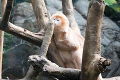 Javan lutung on a tree. This kind of old world monkey can be found in Java Stock Photography